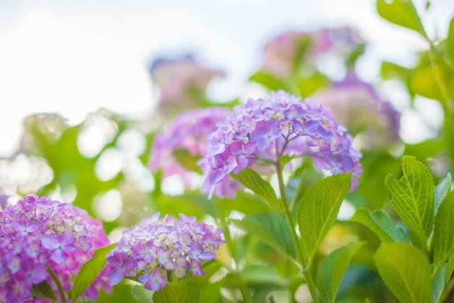 八景島あじさい祭り2018の見ごろ・アクセス方法は?周辺おすすめ癒しスポットもご紹介!