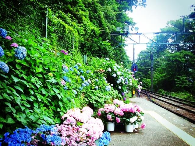 箱根登山鉄道あじさい電車2018の見どころ・開花はいつ?箱根の人気温泉スポットはここだ!