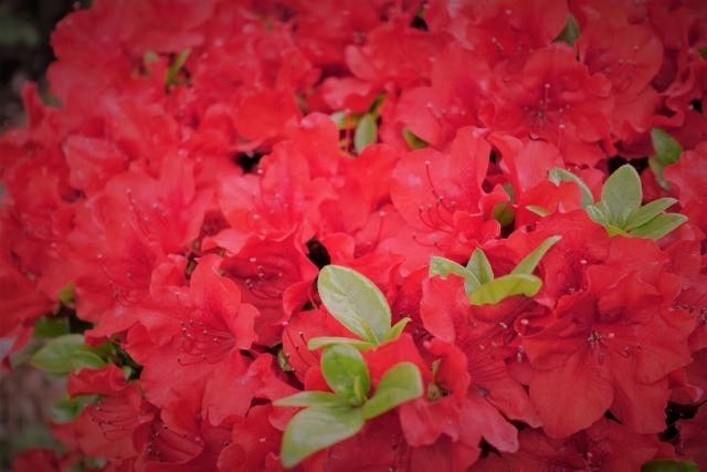 根津神社のつつじ祭り2018!見ごろ・開花はいつ?周辺グルメスポットも紹介!